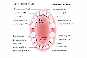 Схема: прорезывание зубов у детей. Сроки смены молочных зубов на постоянные.